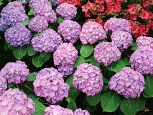What are some pretty shade loving flowers dpetalssingapore garden hydrangea mightylinksfo